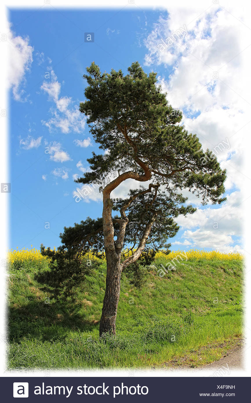 Conifer Stock Photo