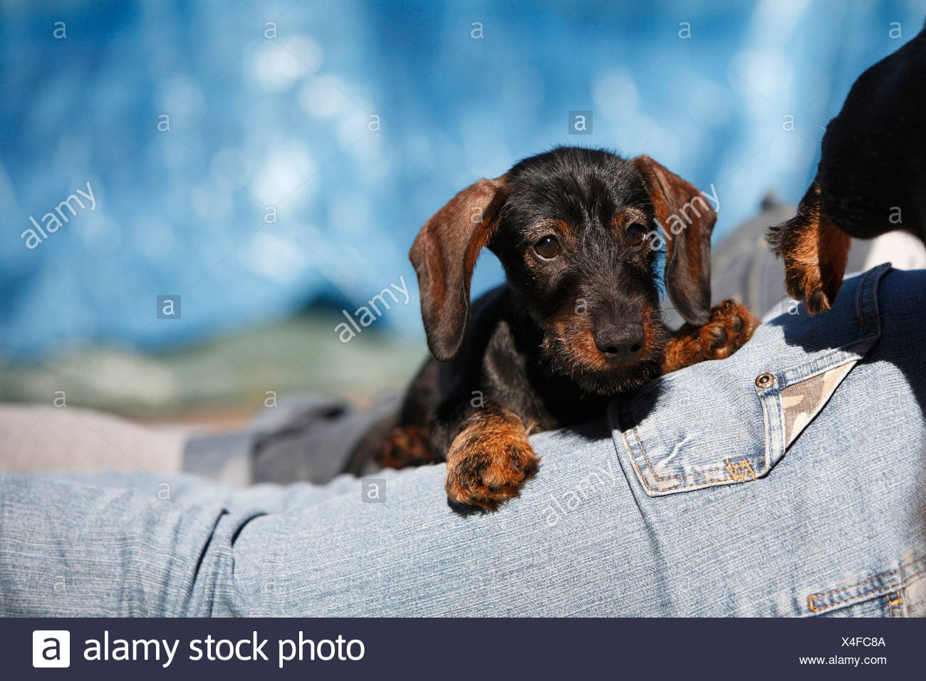 Wire Haired Dachshund Puppy Stock Photos & Wire Haired Dachshund ...
