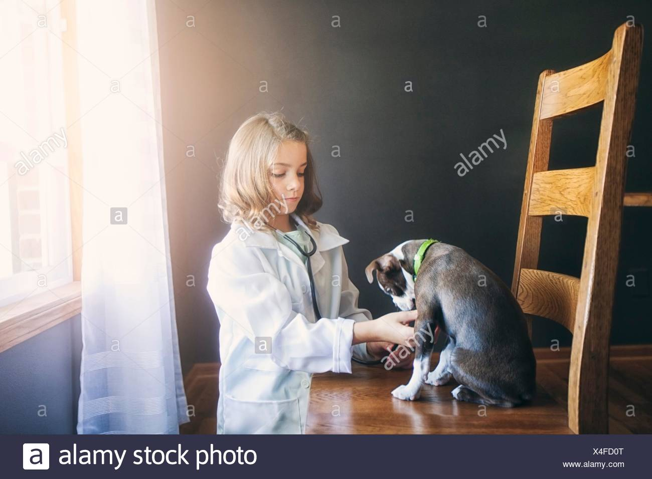 Girl dressed up as doctor kneeling tending to Boston terrier puppy sitting on chair - Stock Image