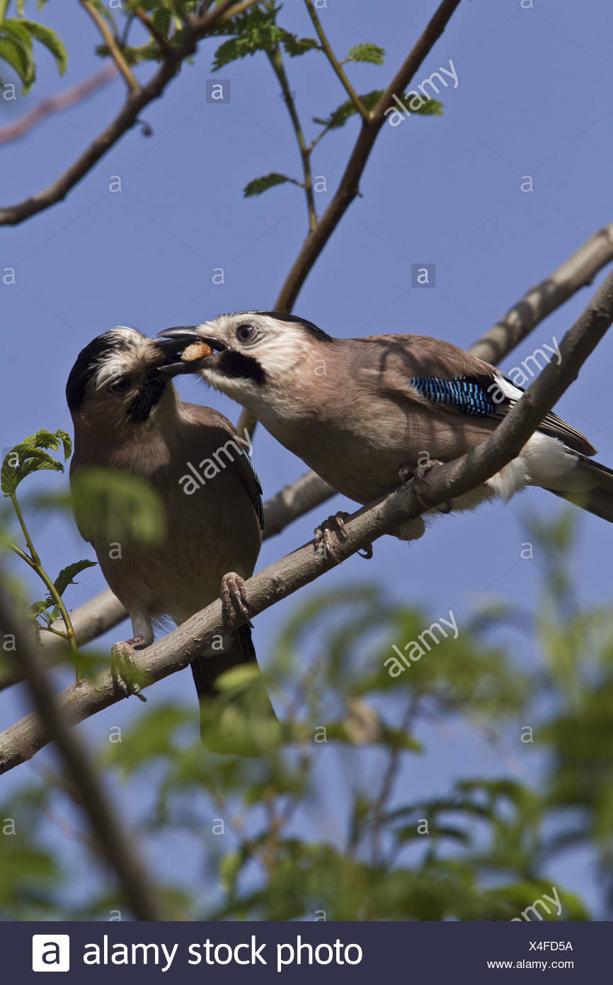 Middle east Jay's courtship feeding - Stock Image
