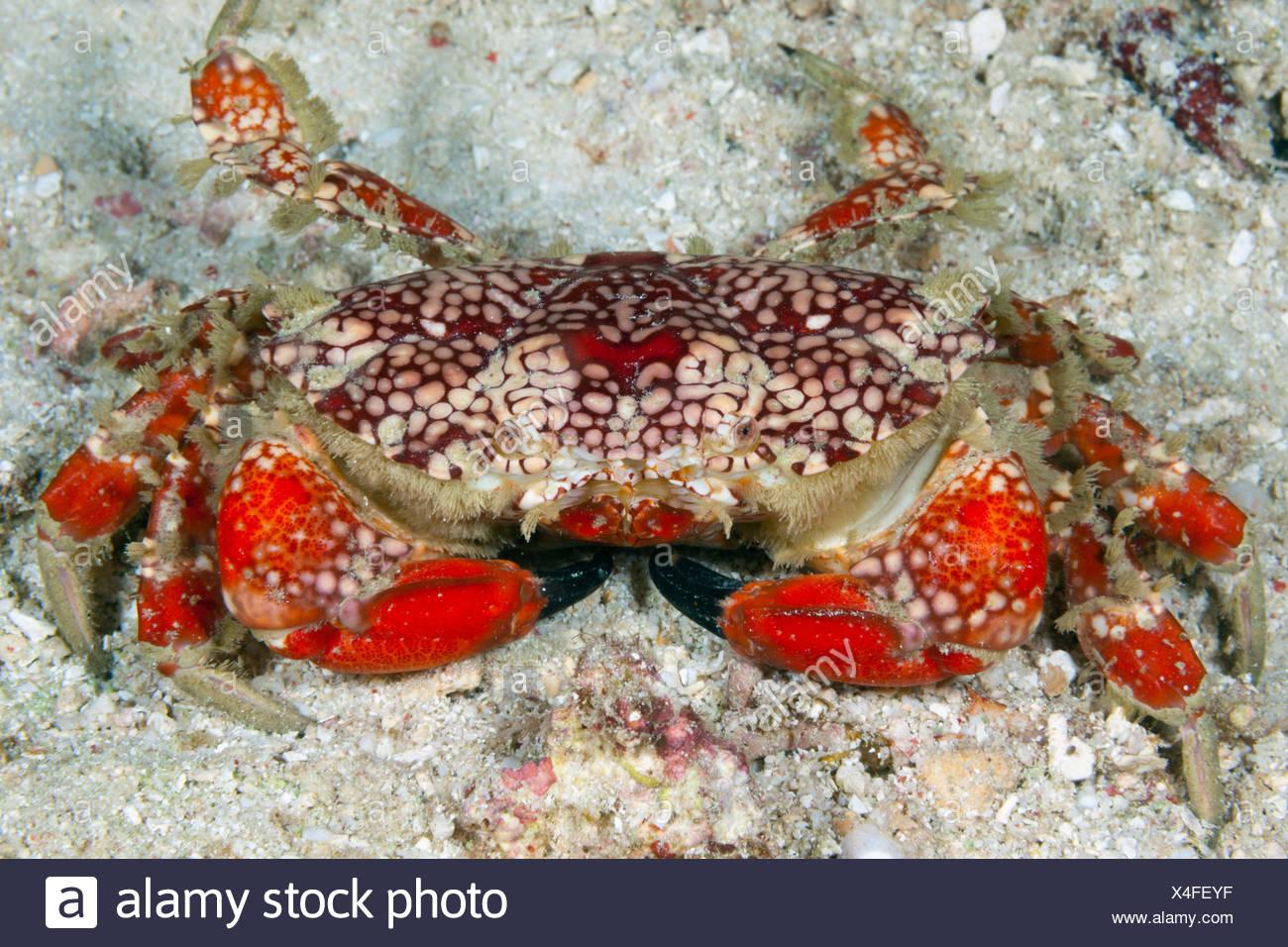 Round crab, Etisus sp., Raja Ampat, west Papua, Indonesia - Stock Image