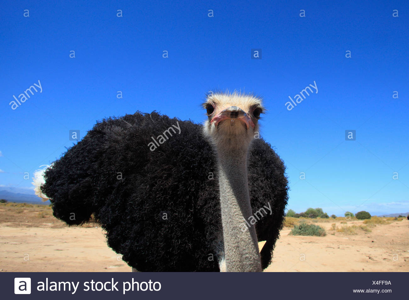 South African Ostrich, male, Oudtshoorn, Klein Karoo, South Africa / (Struthio camelus australis) - Stock Image