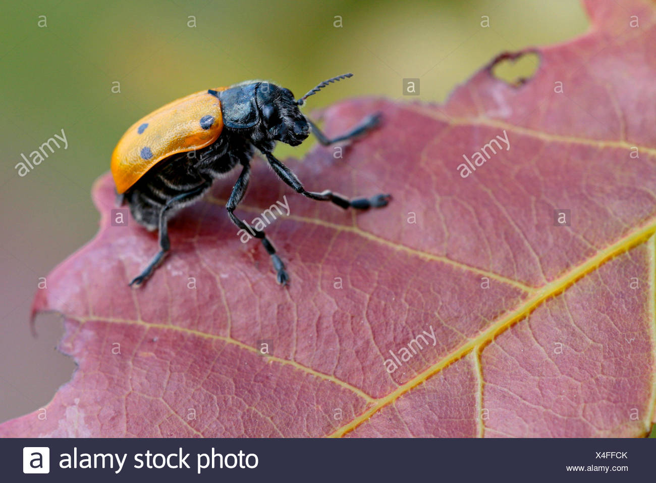 Leaf beetle (Lachnaia sexpunctata), on a leaf, Germany - Stock Image