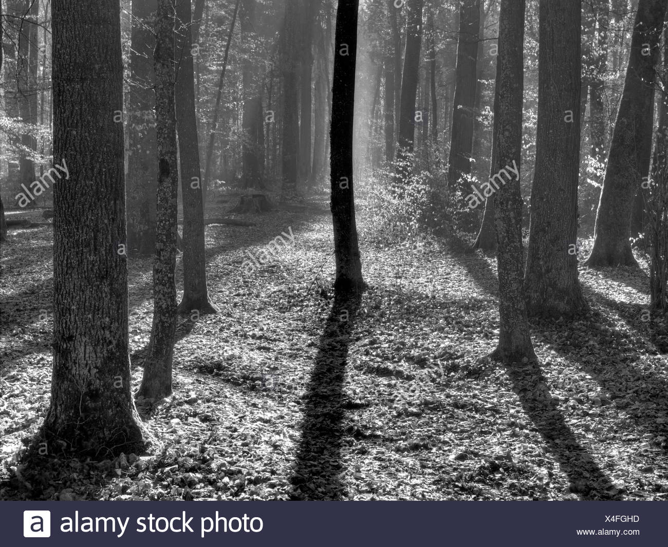 Switzerland, Europe, canton Zurich, leaves, wood, forest, beeches, autumn, contrast, light, shade, sun, foliage - Stock Image