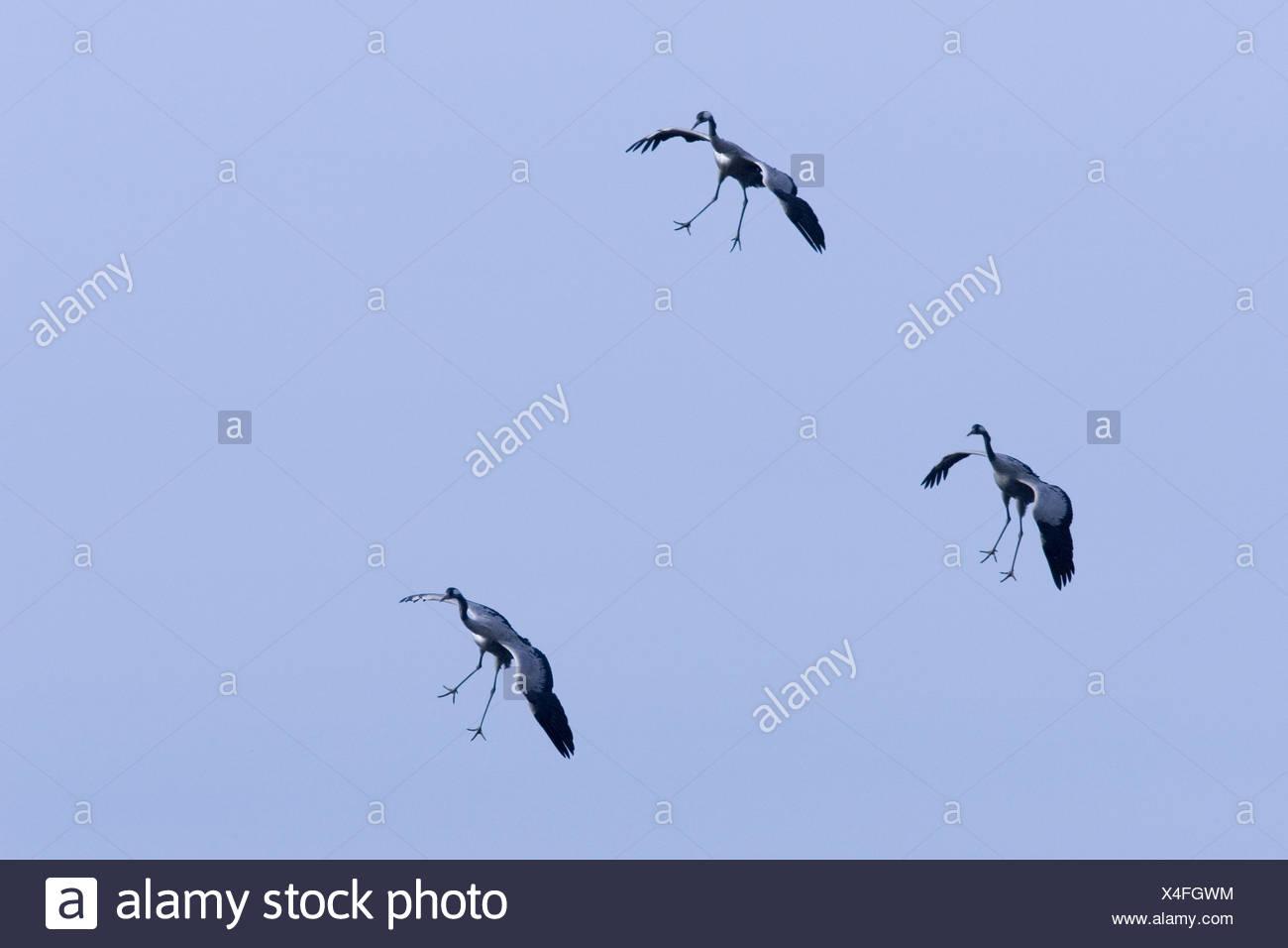 common crane (Grus grus), approach for a landing, Sweden, Hornborgasjoen - Stock Image