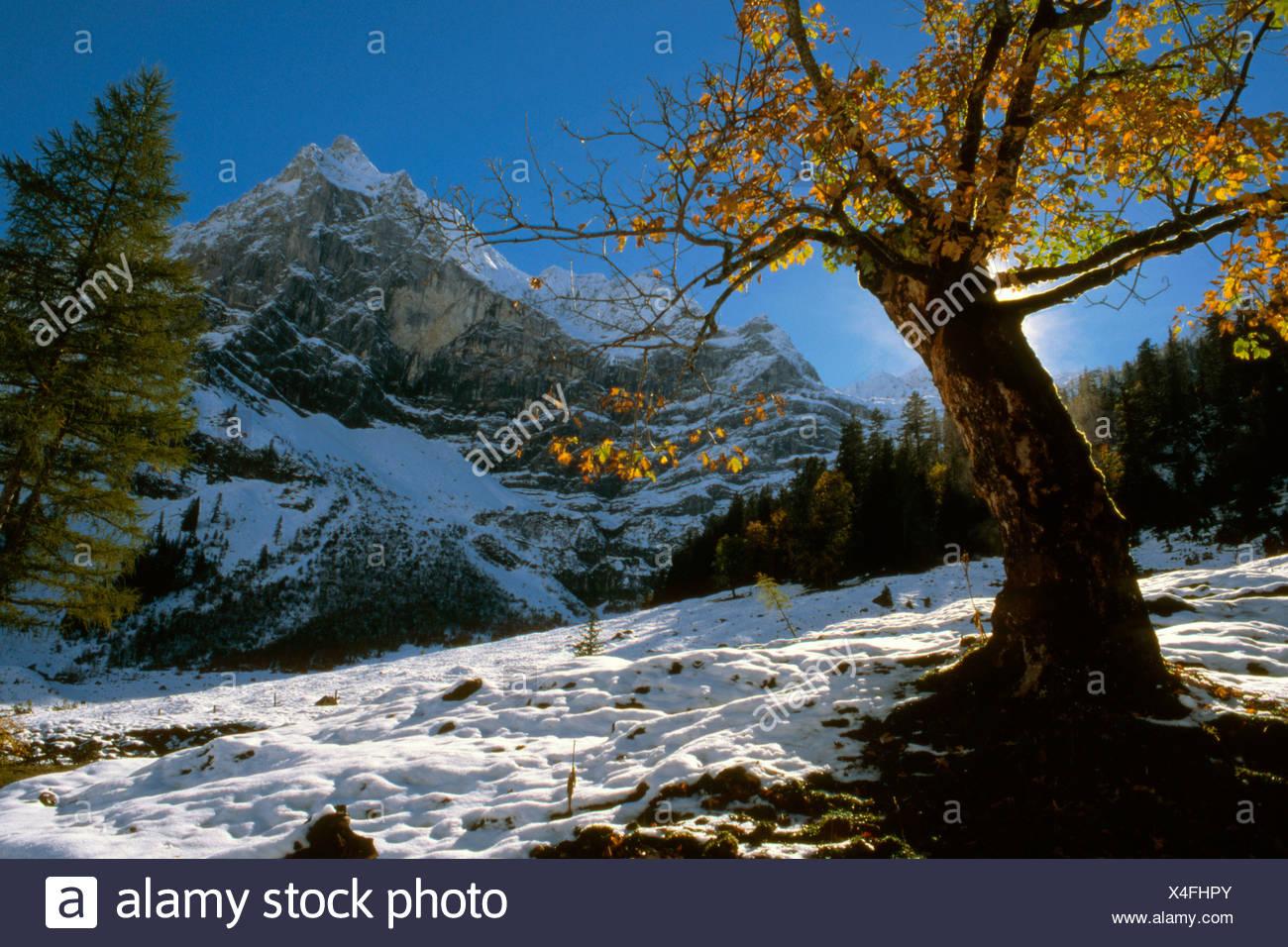 Sycamore Maple (Acer pseudoplatanus) tree, Grosser Ahornboden, Karwendel Range, Tirol, Austria Stock Photo