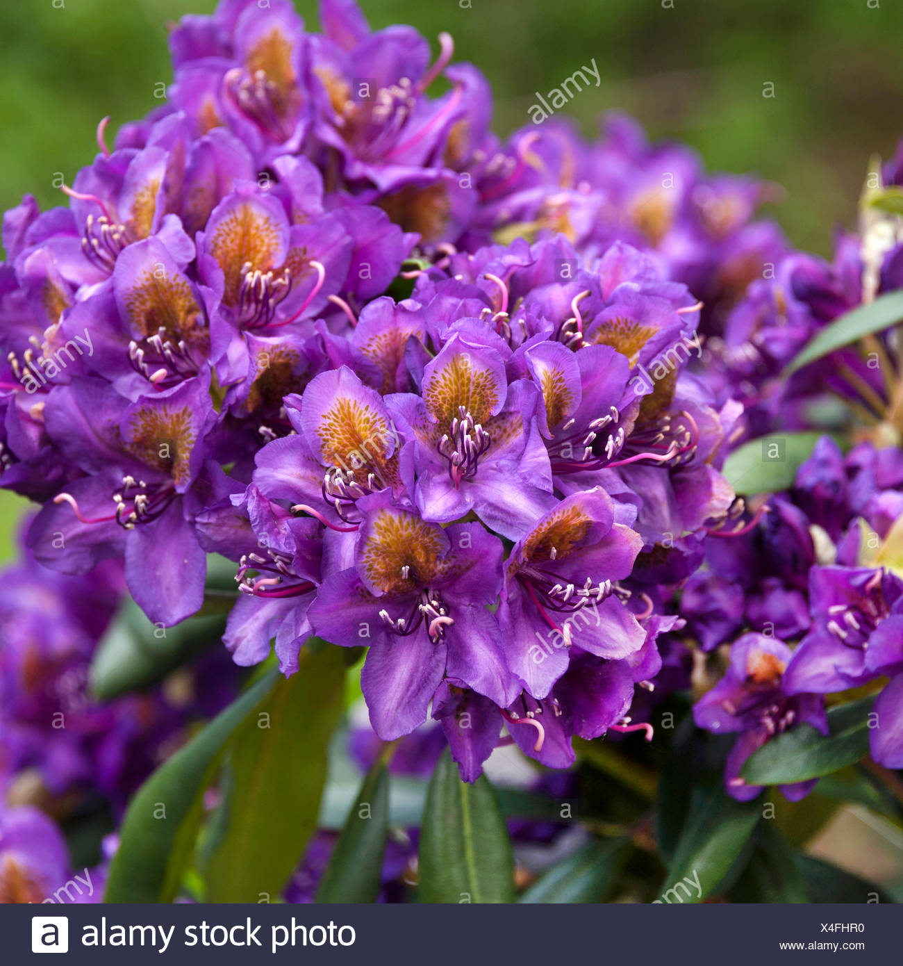 rhododendron (Rhododendron 'Marcel Menard', Rhododendron Marcel Menard), blooming cultivar Marcel Menard - Stock Image