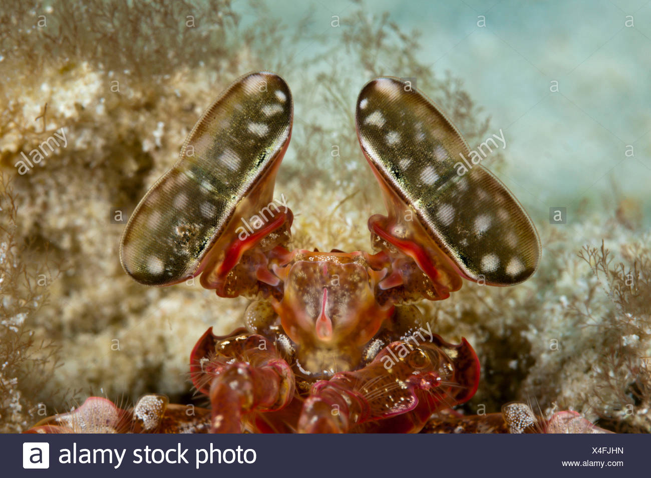 To compound eyes of a spear-catch fright cancer, Lysiosquillina sp., ambon, the Moluccas, Indonesia - Stock Image