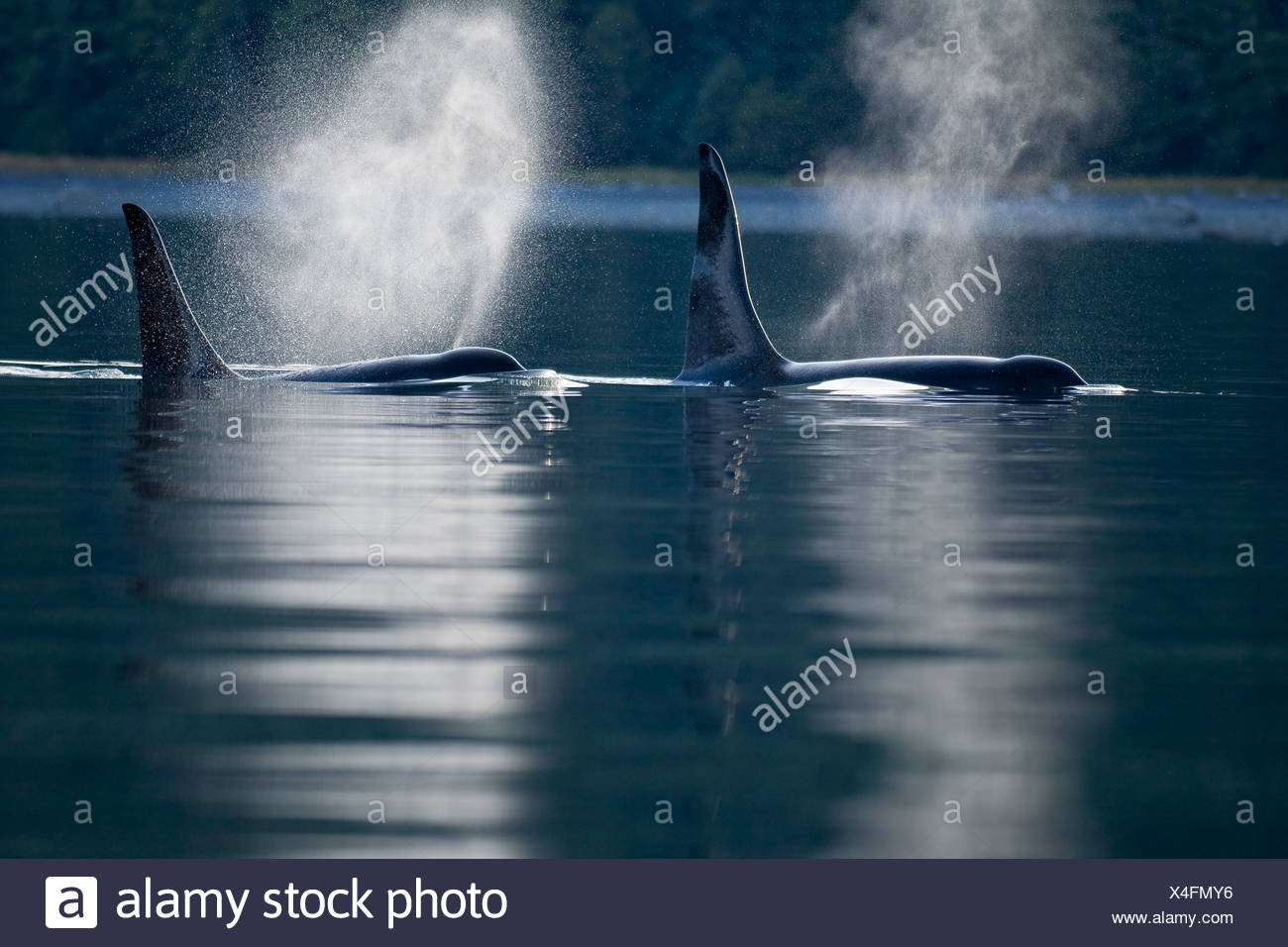 Orca Whales exhale (blows) as they surfaces in Alaska's Inside Passage, Alaska - Stock Image