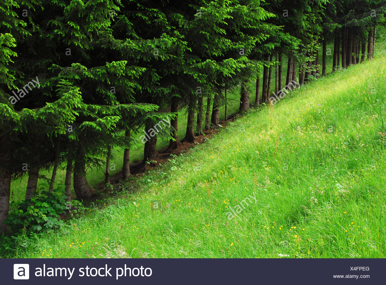 tree firs avenue - Stock Image