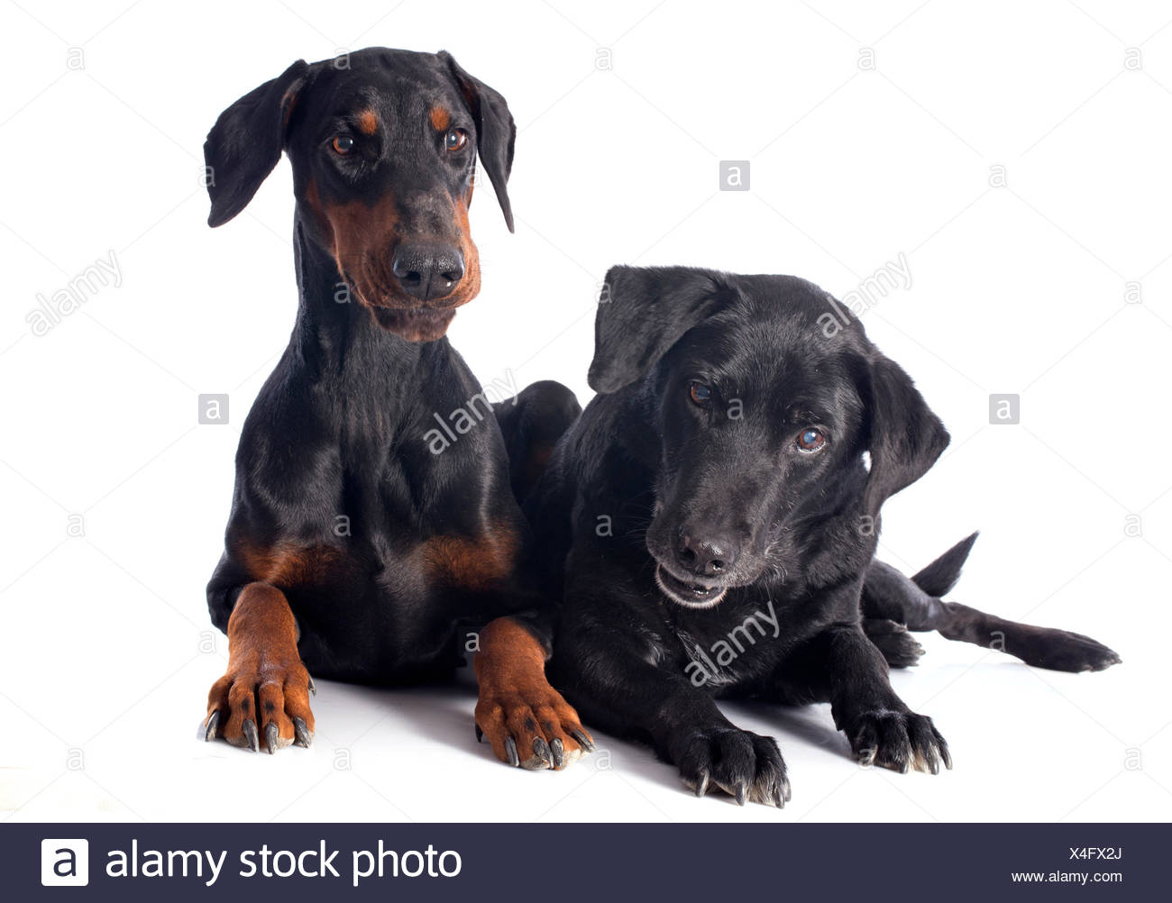 purebred  labrador retriever and dobermann in front of a white background - Stock Image