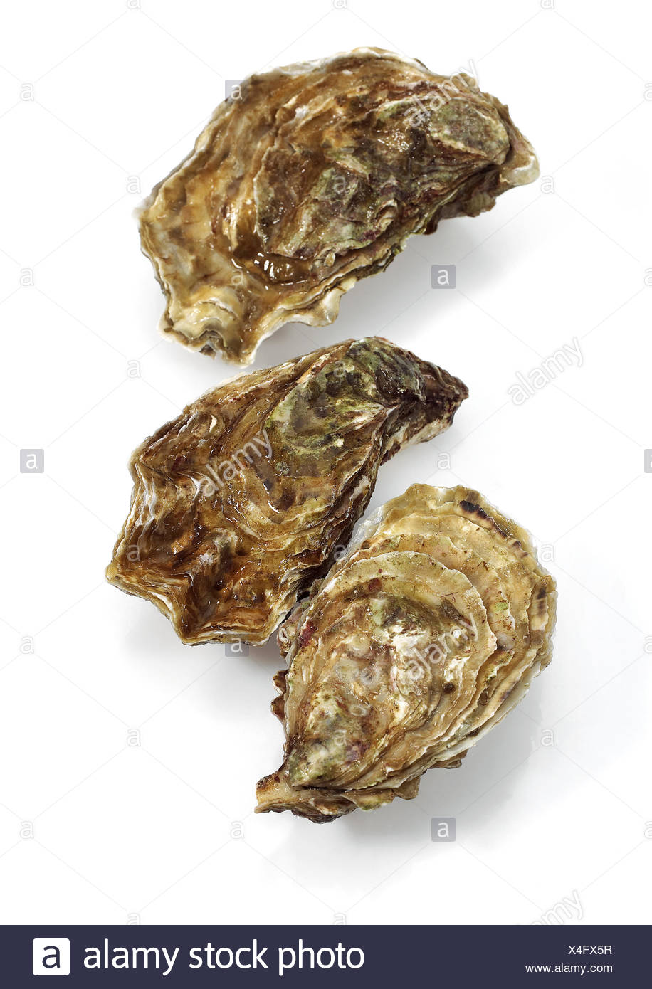 French Oyster Called Marennes d'Oleron, ostrea edulis, Seafoods against White Background 065173 Gerard LACZ Images - Stock Image
