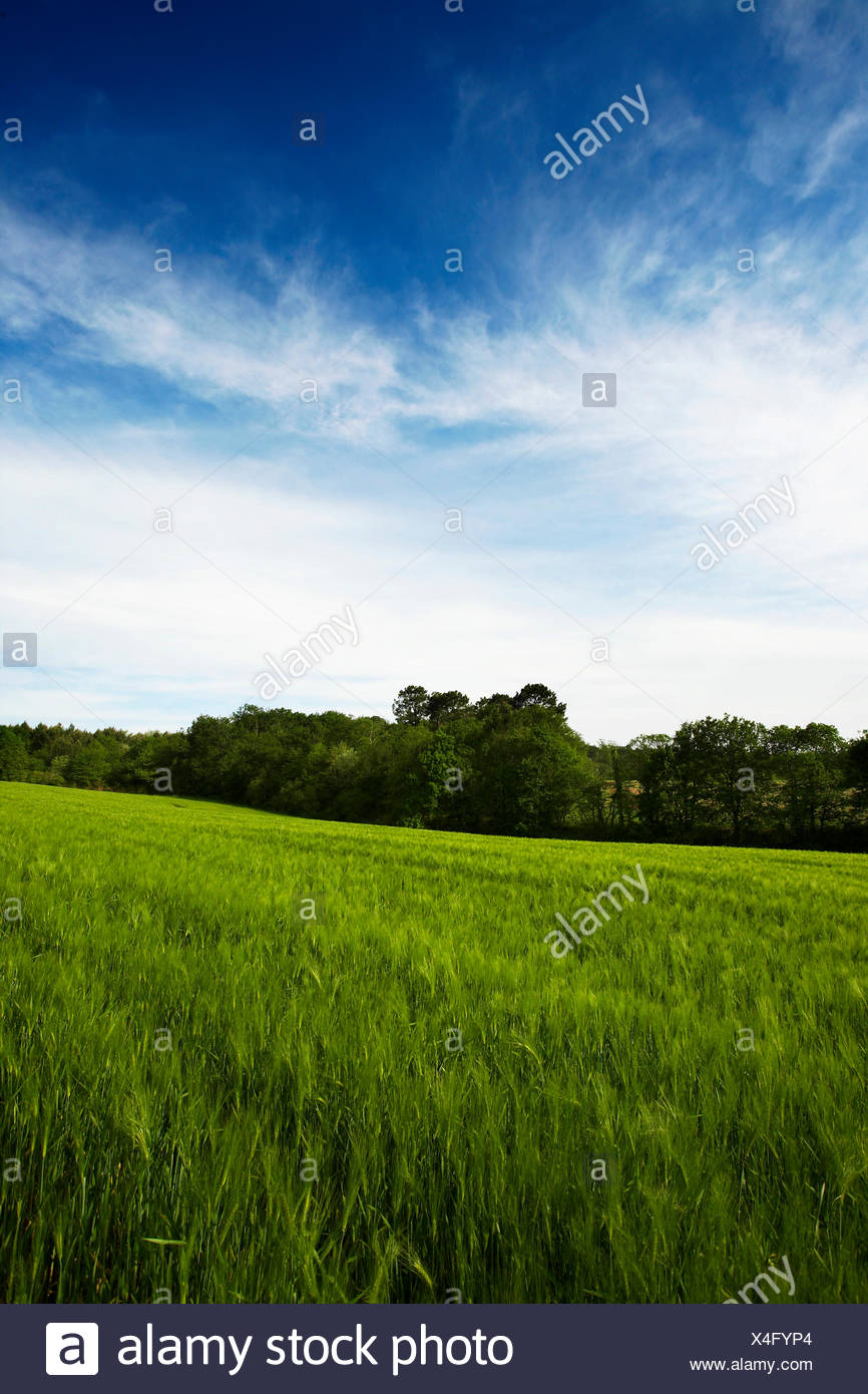 Wheat field, France - Stock Image