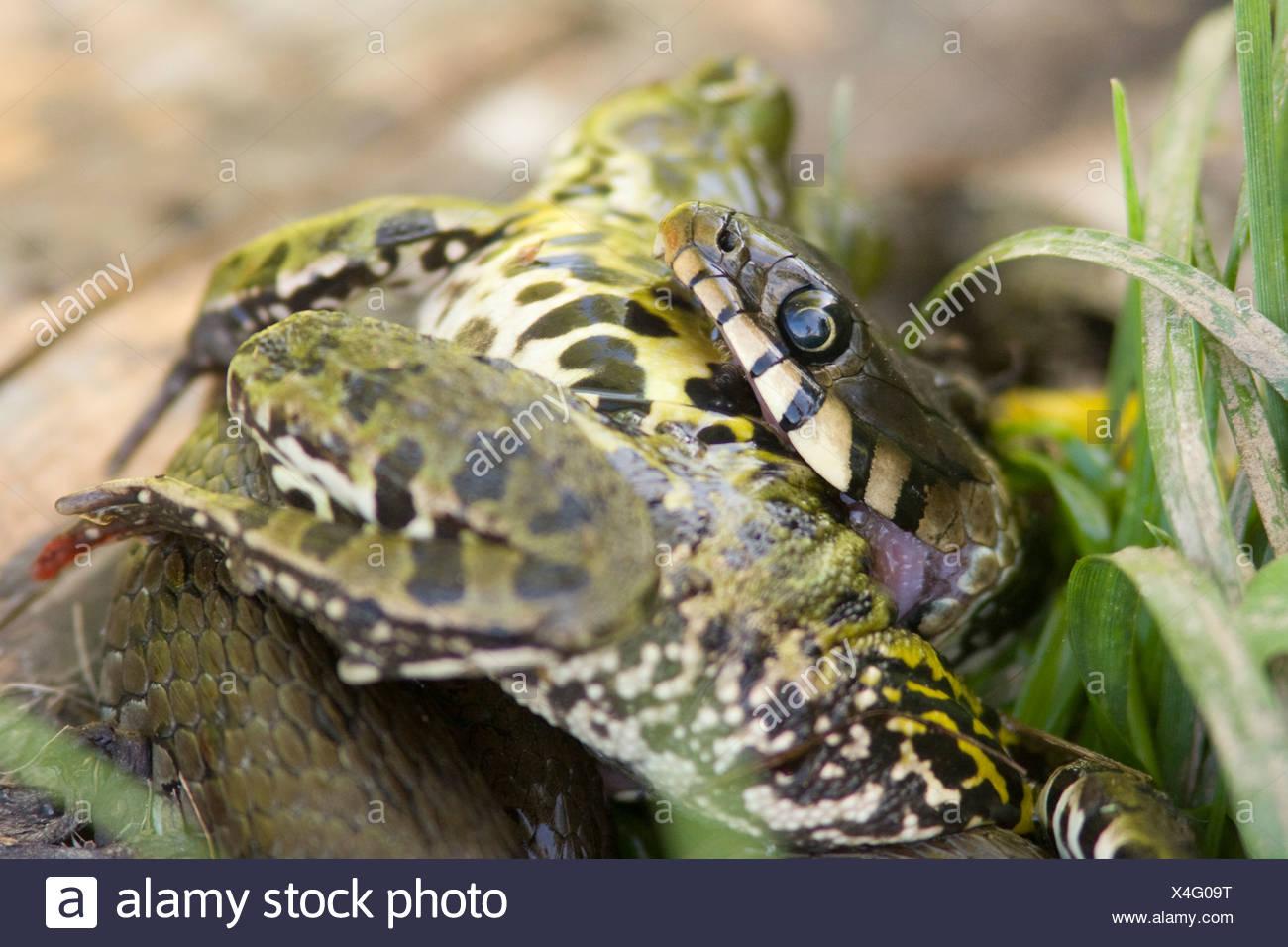Een Ringslang heeft een forse Bastaardkikker gevangen en heeft grote moeite om deze prooi naar binnen te werken. A Grass Snake just caught a large Green Frog and is struggling to swallow this oversized prey. Stock Photo