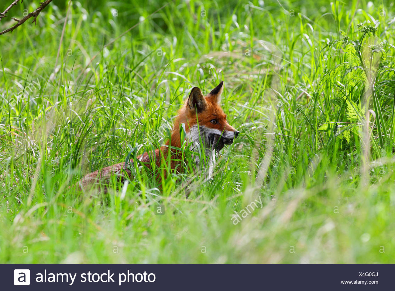 red fox (Vulpes vulpes), parent with caught mouse, Germany - Stock Image