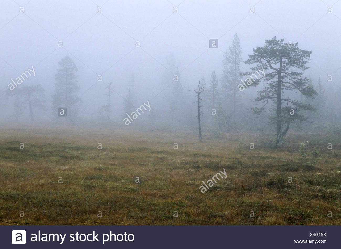 Hill moor in fog with moor grass in fall - Stock Image