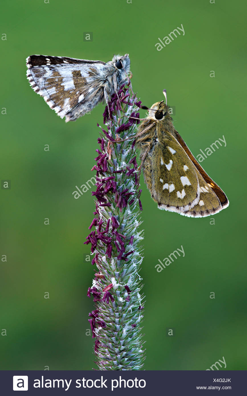 Silver-spotted Skipper (Hesperia comma), left, and a Grizzled Skipper (Pyrgus malvae), right, Seewertal, Ötztaler Alpen Stock Photo