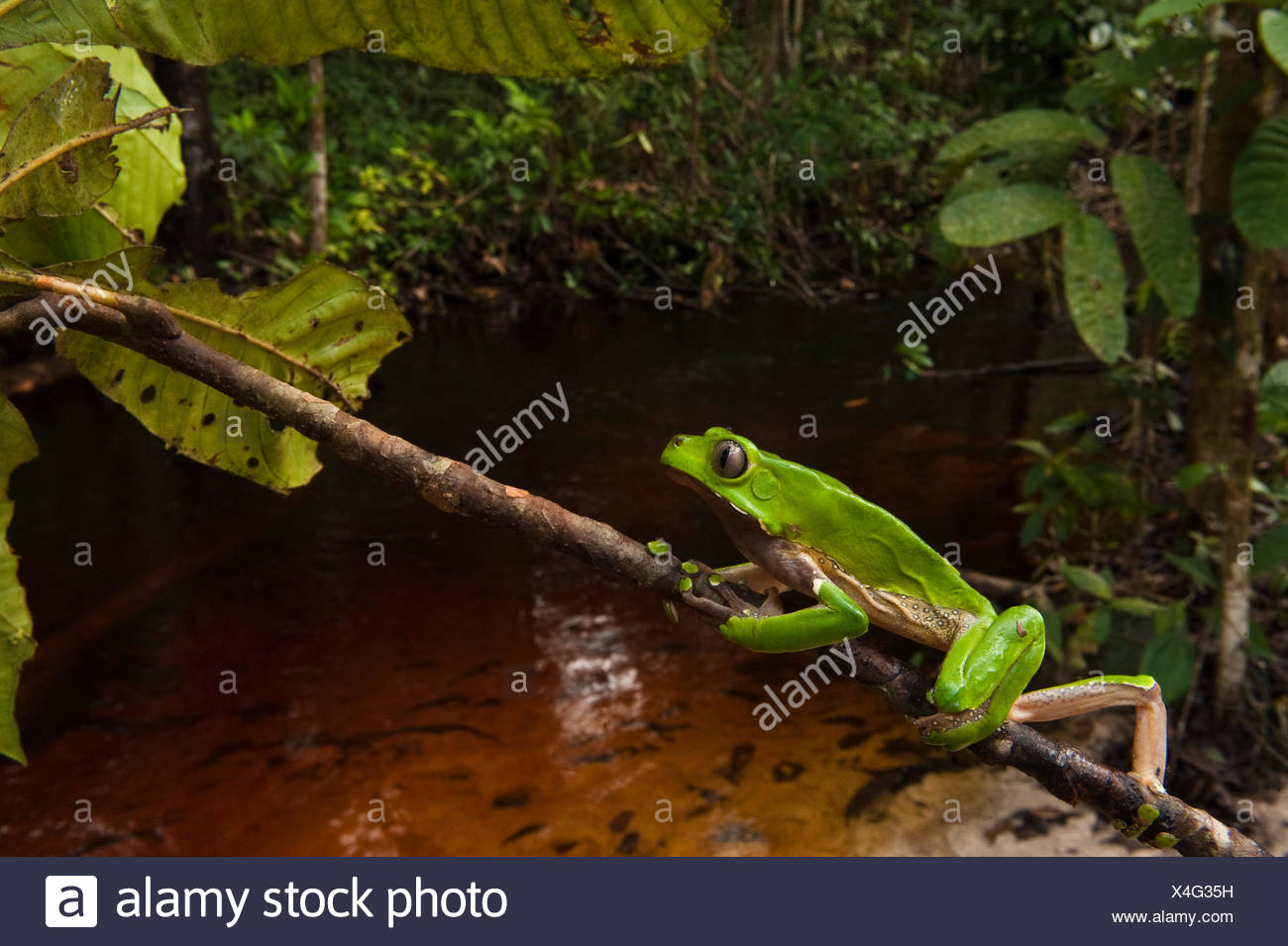 Giant leaf frog (Phyllomedusa bicolor) climbing along branch in rainforest, Iwokrama Reserve, Guyana Stock Photo