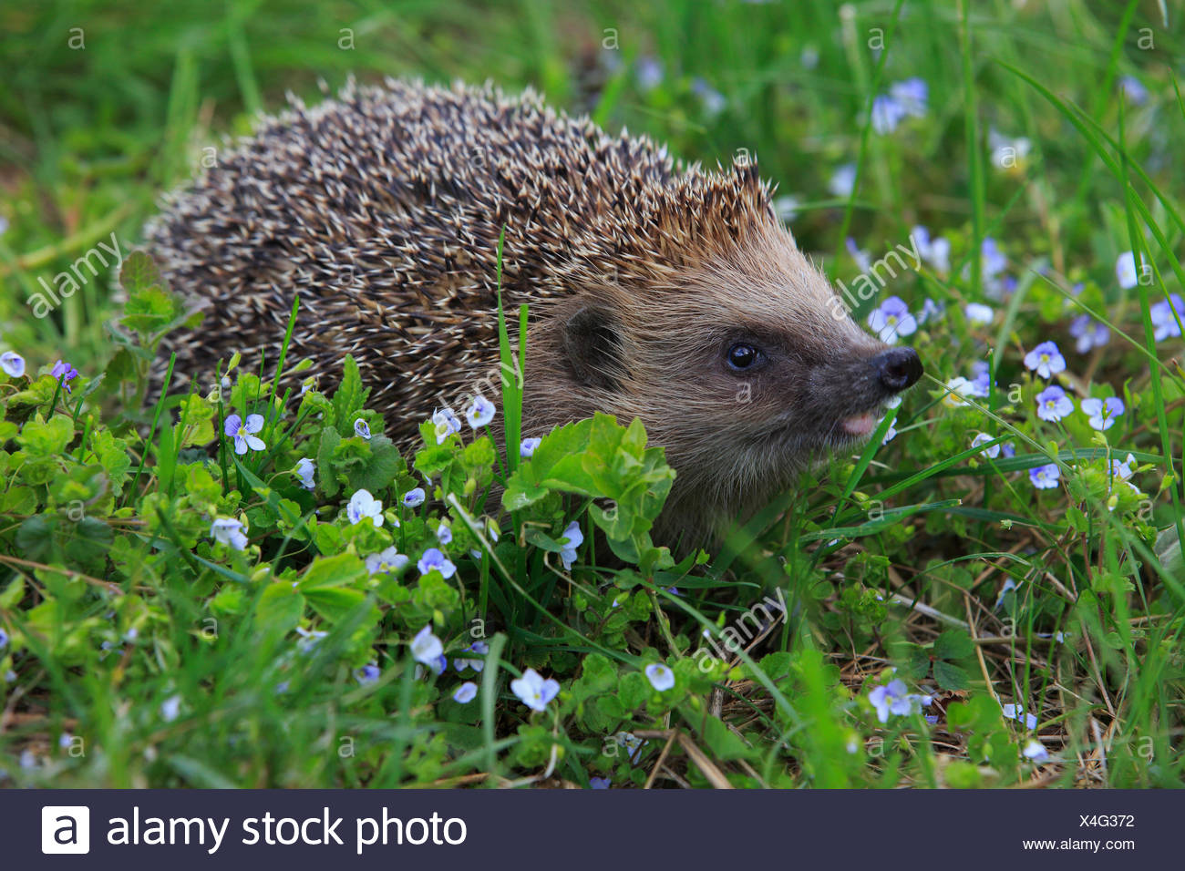 Flower, flowers, common hedgehog, Erinaceus europaeus, European hedgehog, spring, hedgehog, insectivore, Switzerland, stings, pr - Stock Image