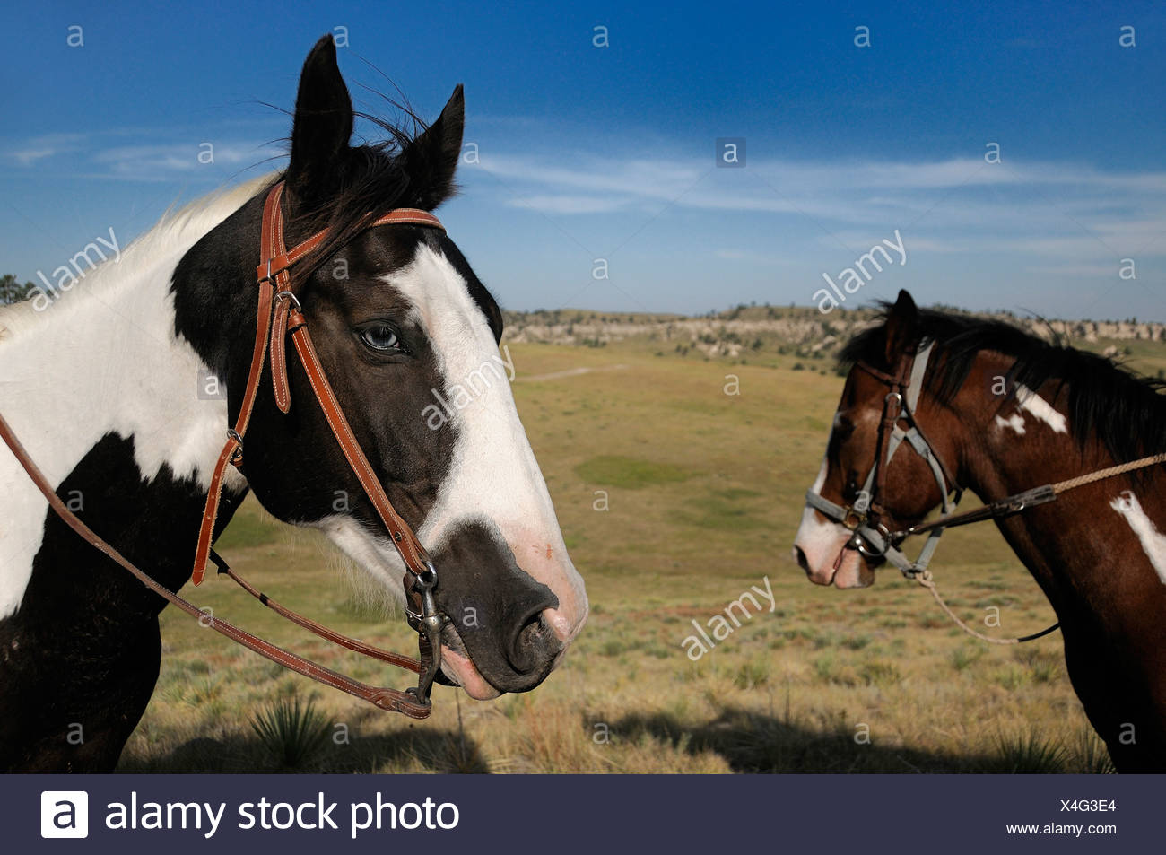 Horses portraits Pine Ridge Pine Ridge Indian Reservation South Dakota USA America United States of America prairie - Stock Image