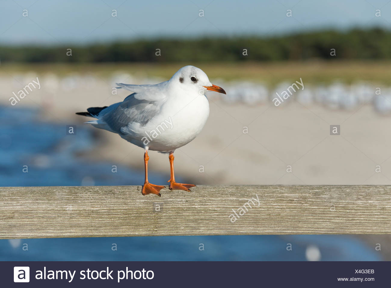 Black-headed Gull (Larus ridibundus, Chroicocephalus ridibundus), perched on the railing of Prerow Pier - Stock Image