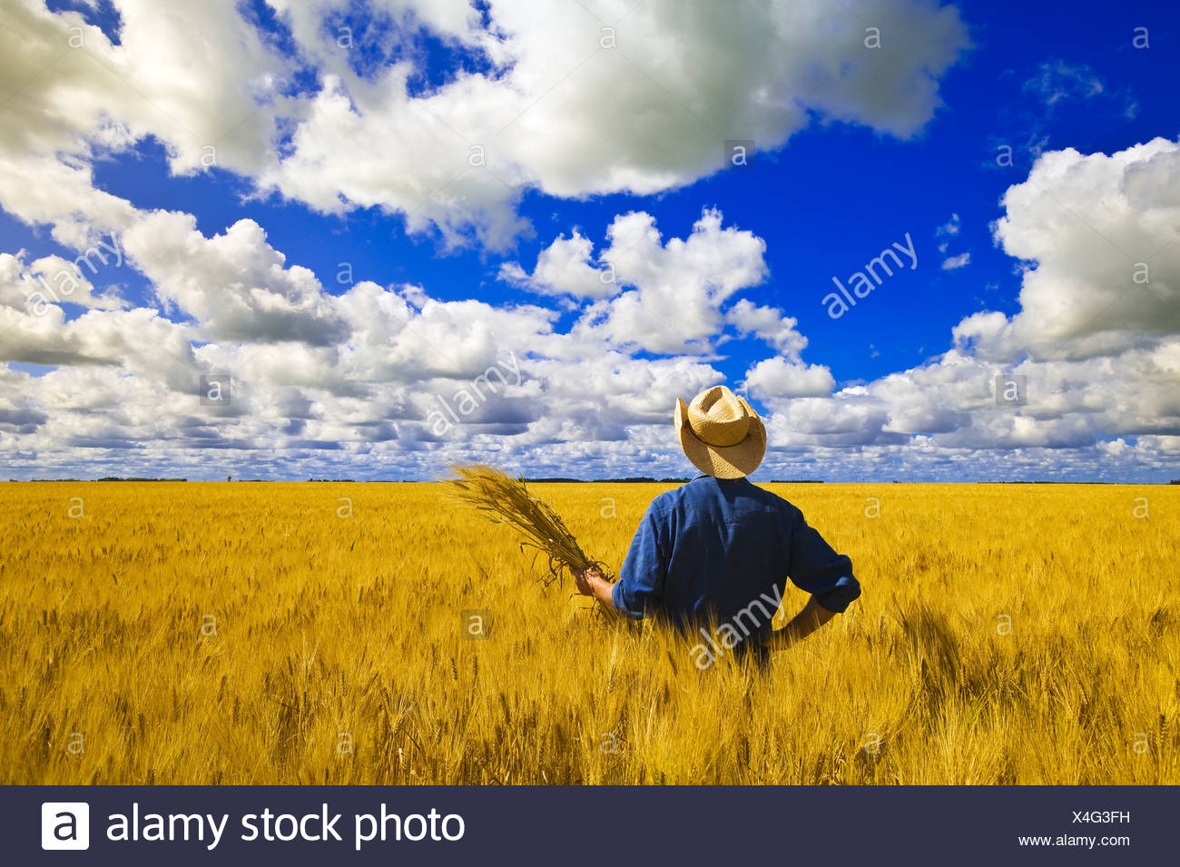 a man looks out over a field of maturing spring wheat with cumulus clouds in the background, near Dugald, Manitoba, Canada - Stock Image