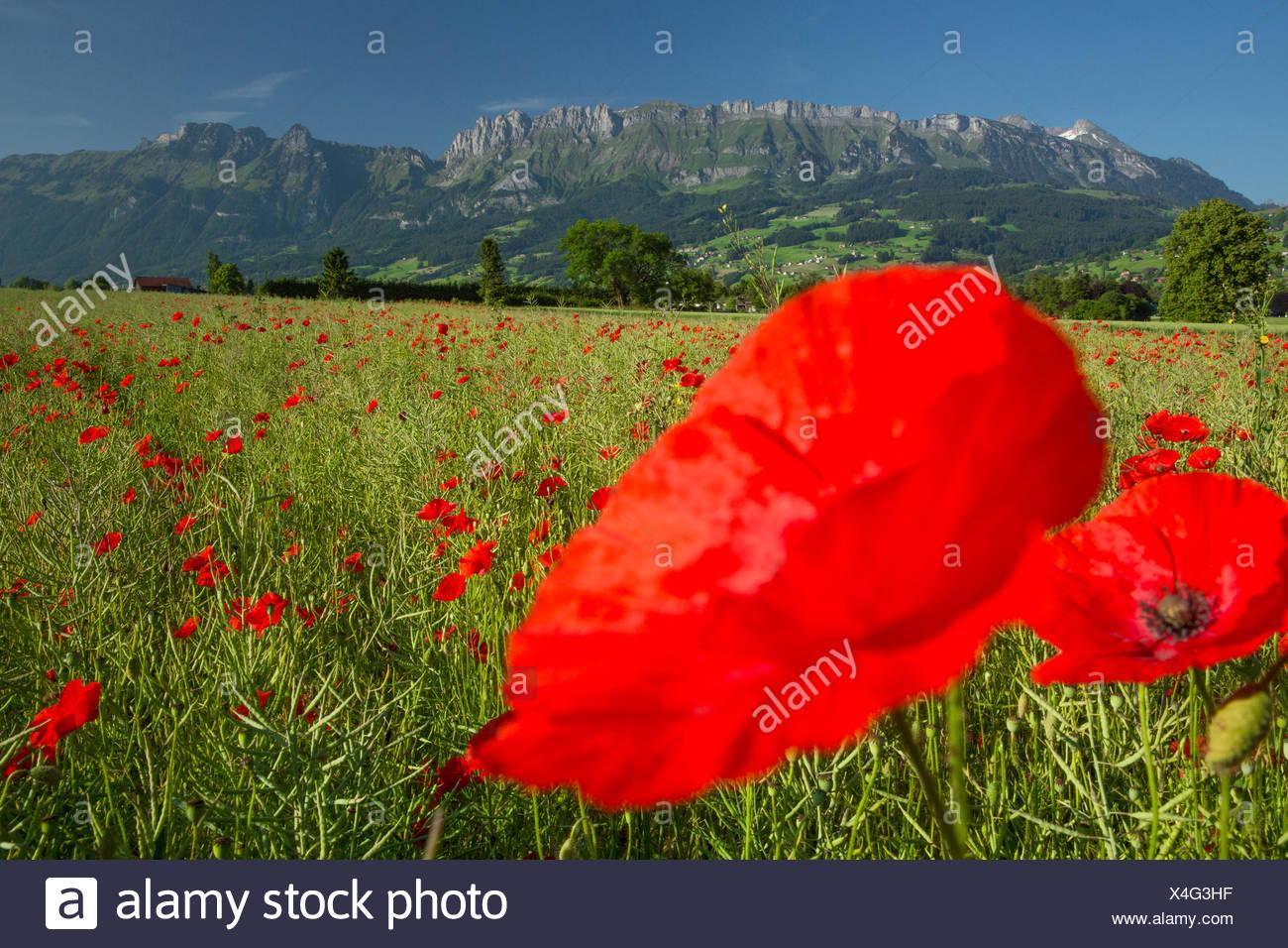 Rhine Valley, wheat field, poppy, Alpstein, Kreuzberge, flower, flowers, agriculture, SG, canton St. Gallen, Rhine Valley, Switz - Stock Image