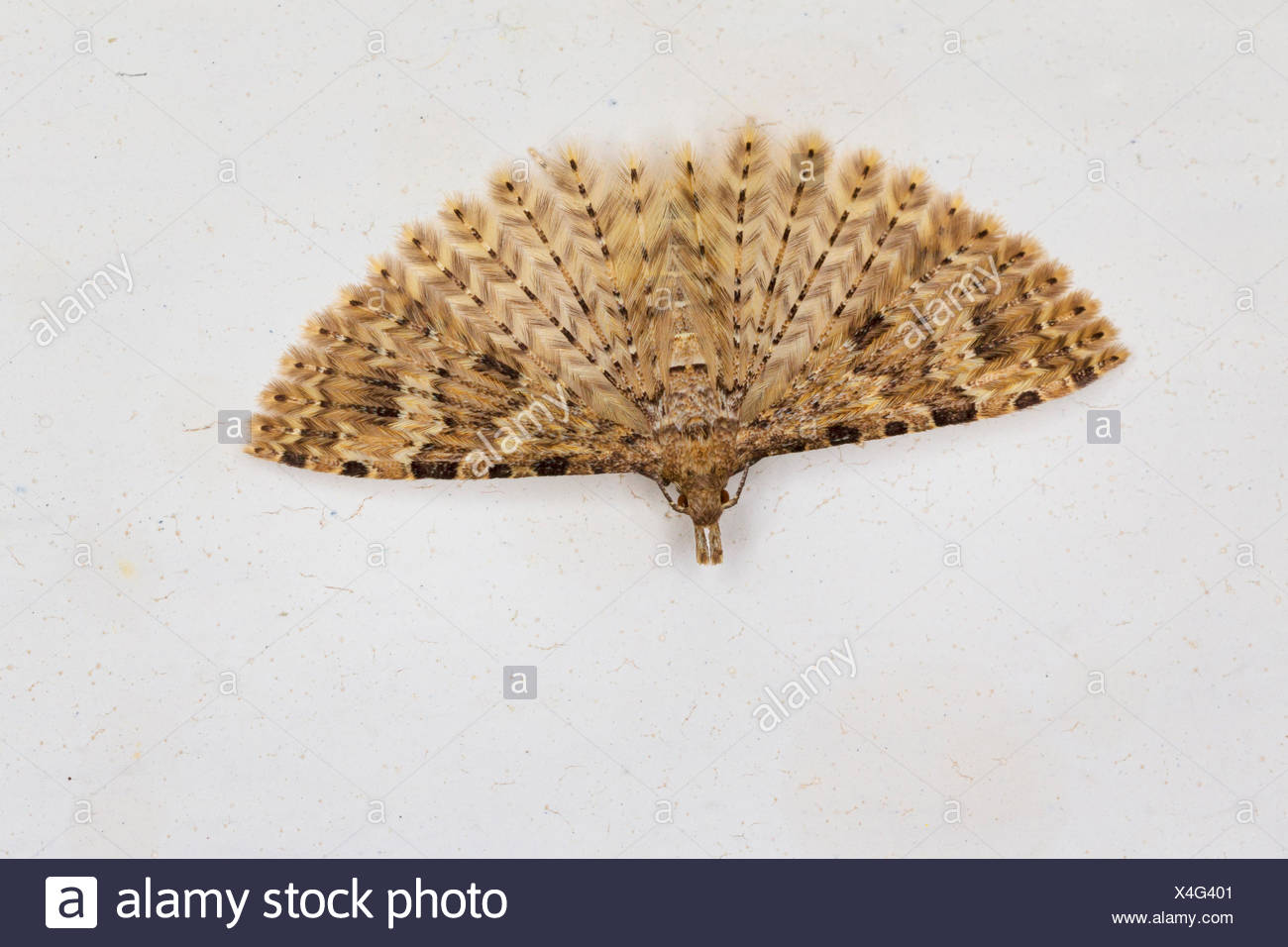 Twenty-plume Moth, Twenty plume moth, Twenty-plumed Moth, Many-plumed moth (Alucita hexadactyla, Alucita polydactyla, Phalaena hexadactyla), hibernation in the house, Germany - Stock Image