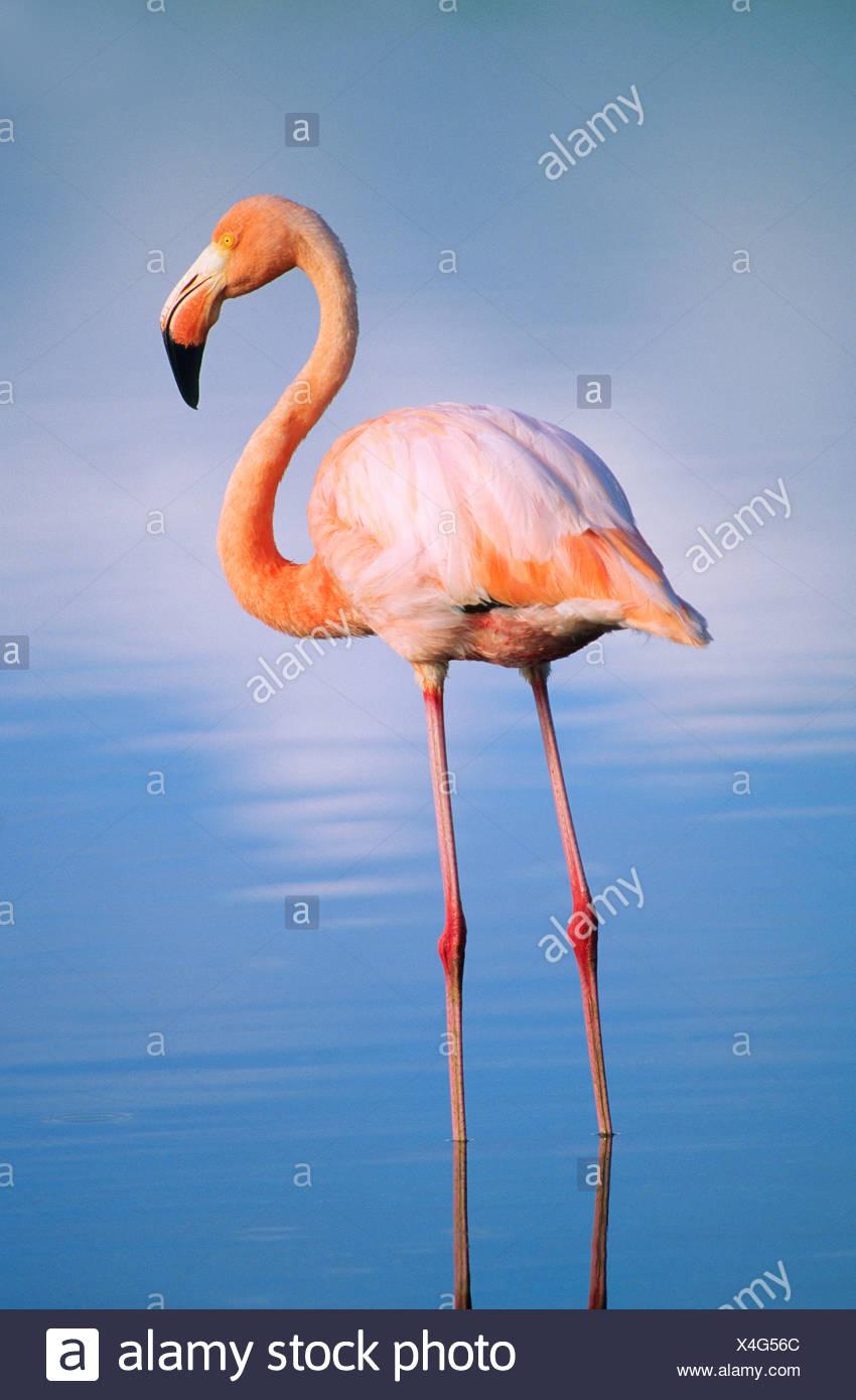 Greater flamingo (Phoenicopterus ruber), Isabela Island, Galapagos Archipelago, Ecuador - Stock Image
