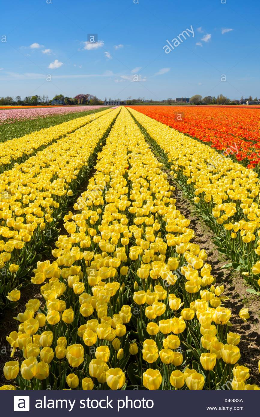 View over yellow tulips fields in spring, Abbenes, North Holland, Netherlands. - Stock Image