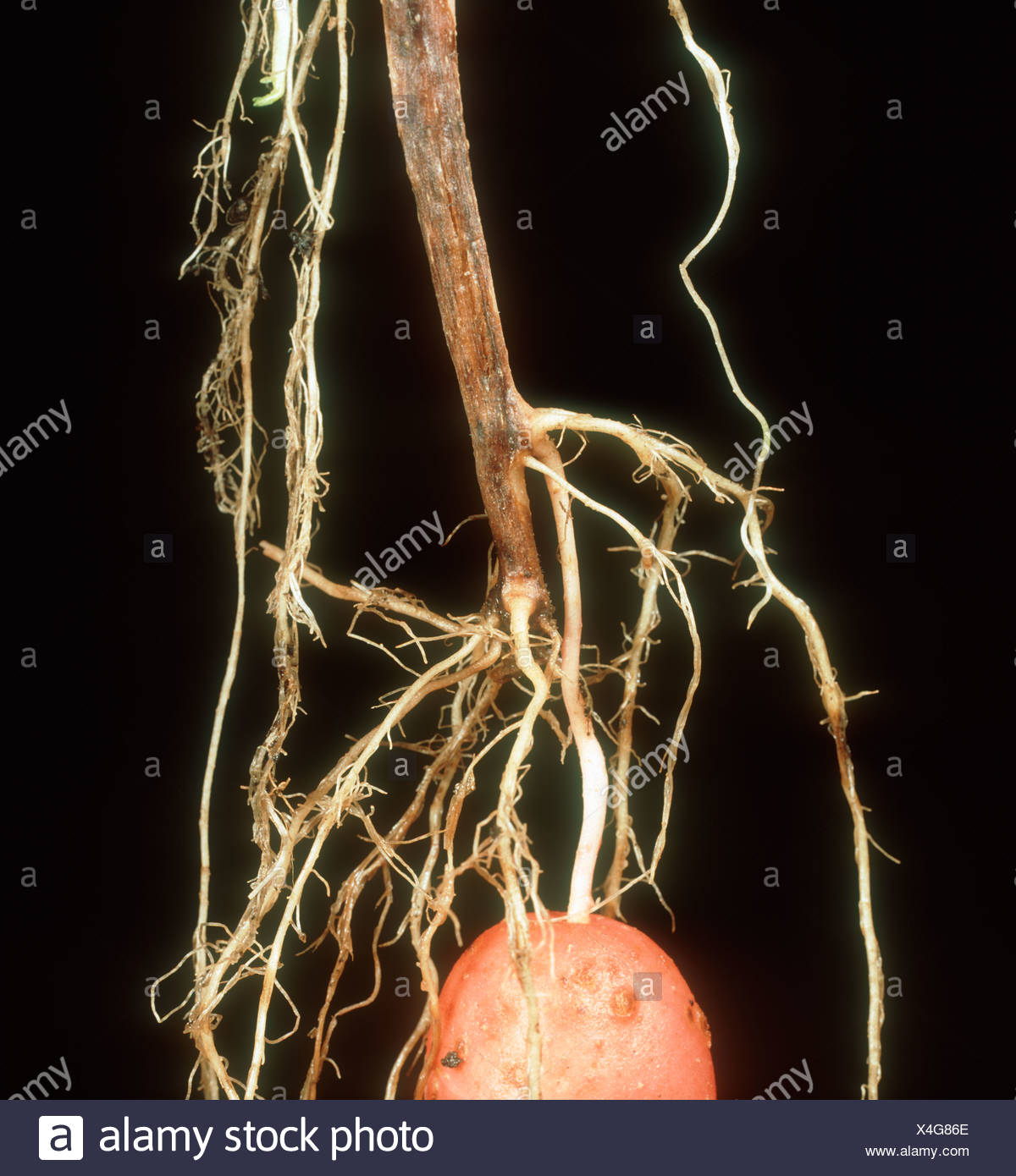 Black dot Colletotrichum atramentarium blackening of potato stem base - Stock Image