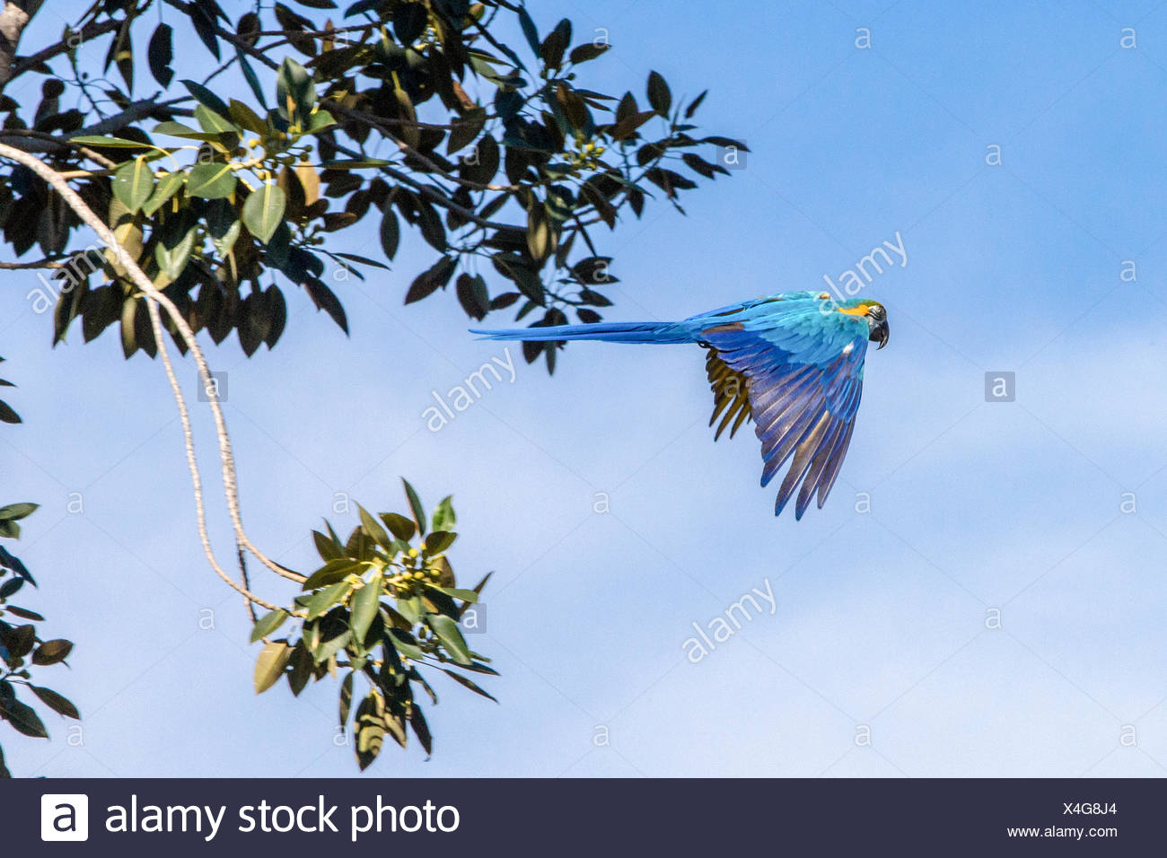 Parrot Flying Blue Sky Stock Photos & Parrot Flying Blue Sky