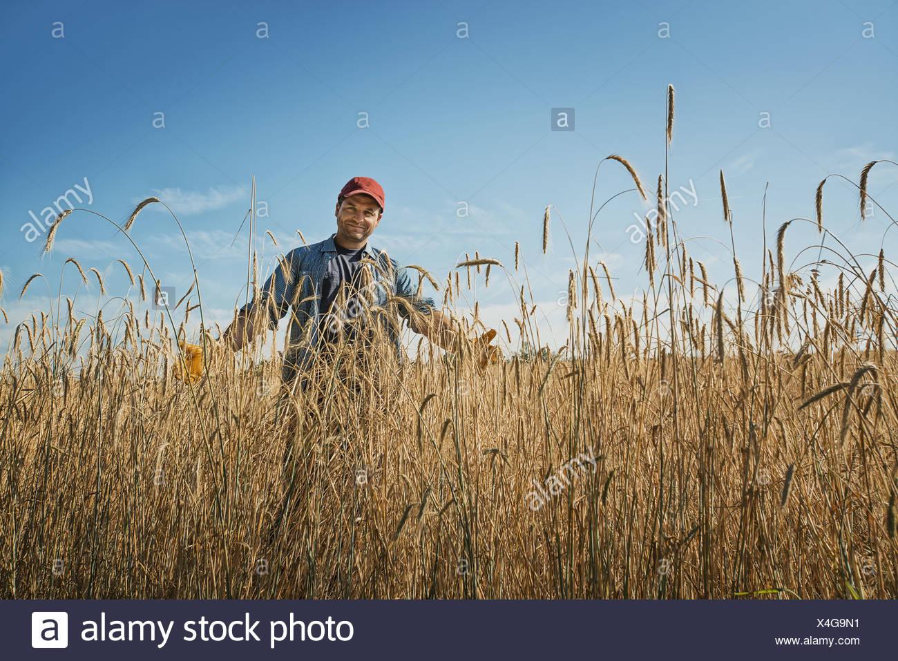 New York state USA man in field tall ripening wheat corn stalks crop - Stock Image