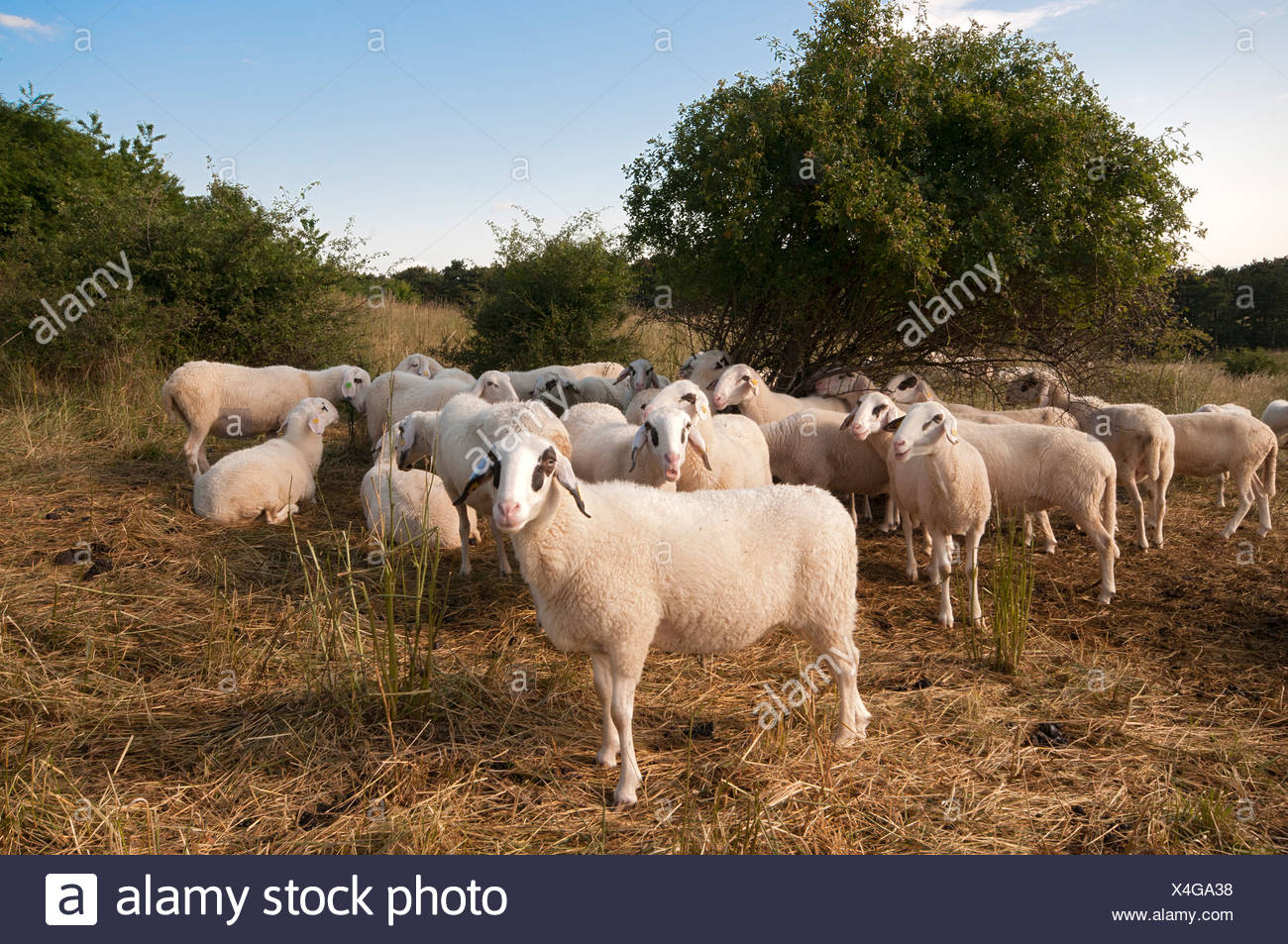 Domestic sheep for heath preservation, Perchtoldsdorf Heath, Perchtoldsdorf, Lower Austria, Austria, Europe - Stock Image