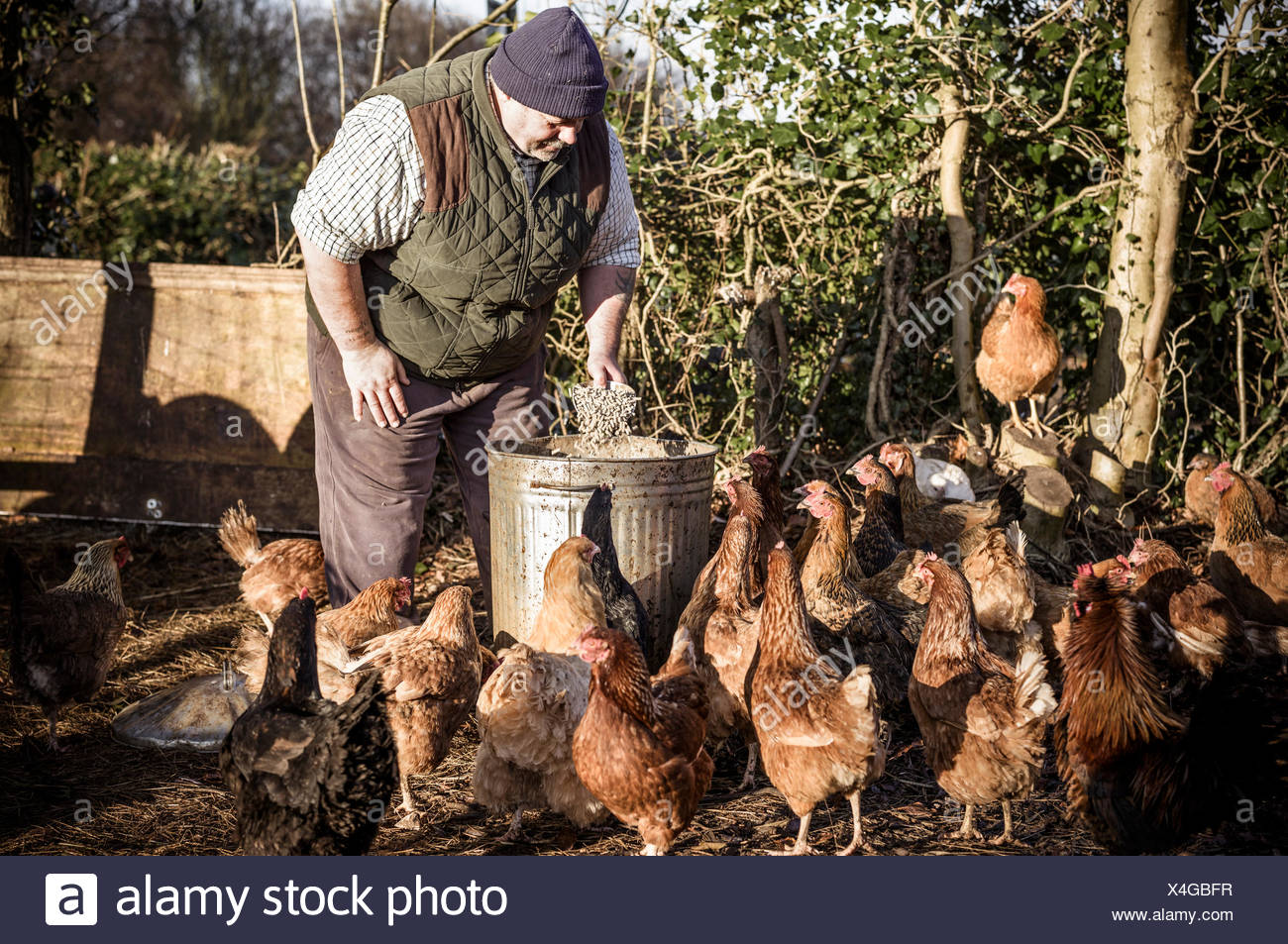 A farmer holding a feed bucket, surrounded by a flock of hungry chickens. - Stock Image