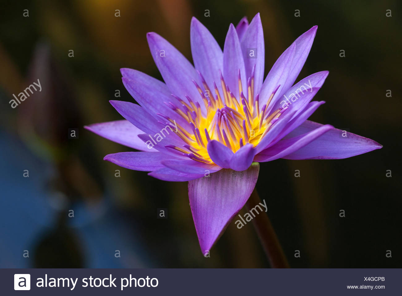 Blue lotus also blue water lily or sacred blue lily nymphaea blue lotus also blue water lily or sacred blue lily nymphaea caerulea flower sri lanka izmirmasajfo