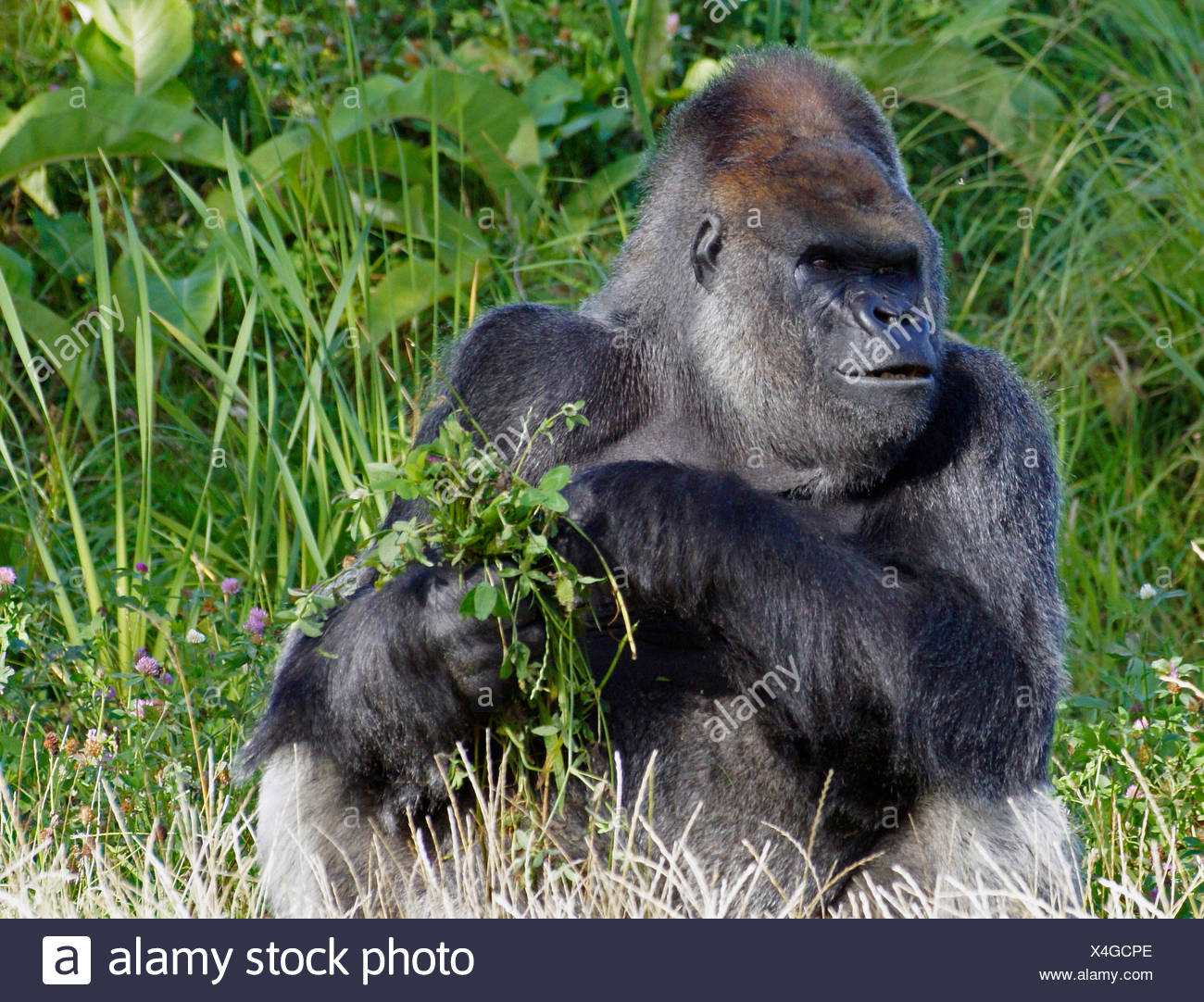 Ireland, Leinster, County Dublin, Dublin, Gorilla with leaves - Stock Image