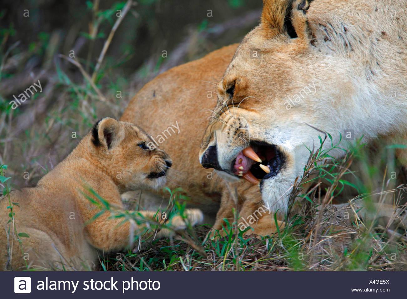 lion (Panthera leo), lioness snarls her cub, Kenya, Masai Mara National Park - Stock Image