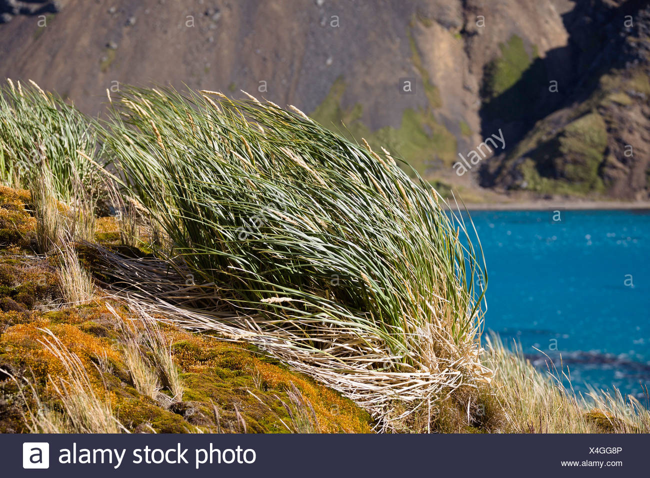 Tussock-grass, Grytviken, King Edward Cove, South Georgia, South Sandwich Islands, British Overseas Territory, Subantarctic - Stock Image