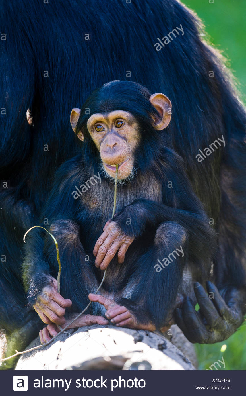 An infant Chimpanzee chewing on a twig with its mother. - Stock Image