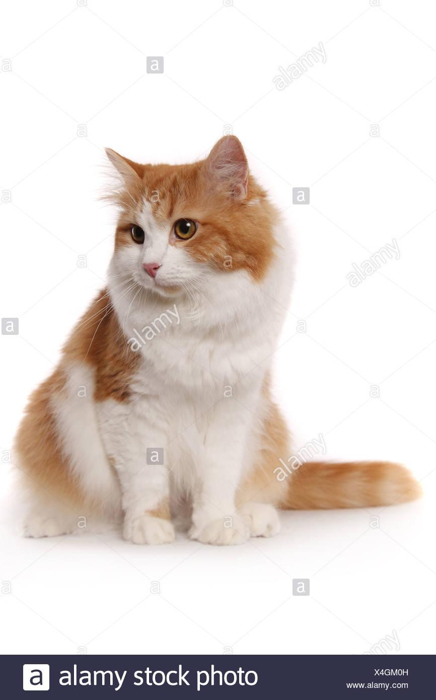 sitzende Sibirische Katze / sitting Siberian Cat - Stock Image