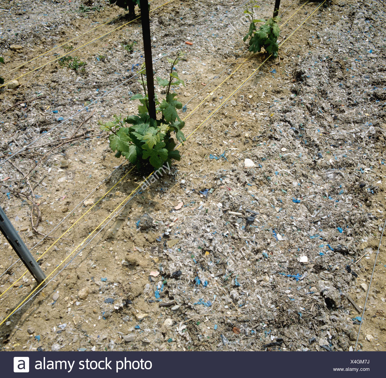 Rubbish used as a mulch between rows of vines in a vineyard in Champagne France - Stock Image