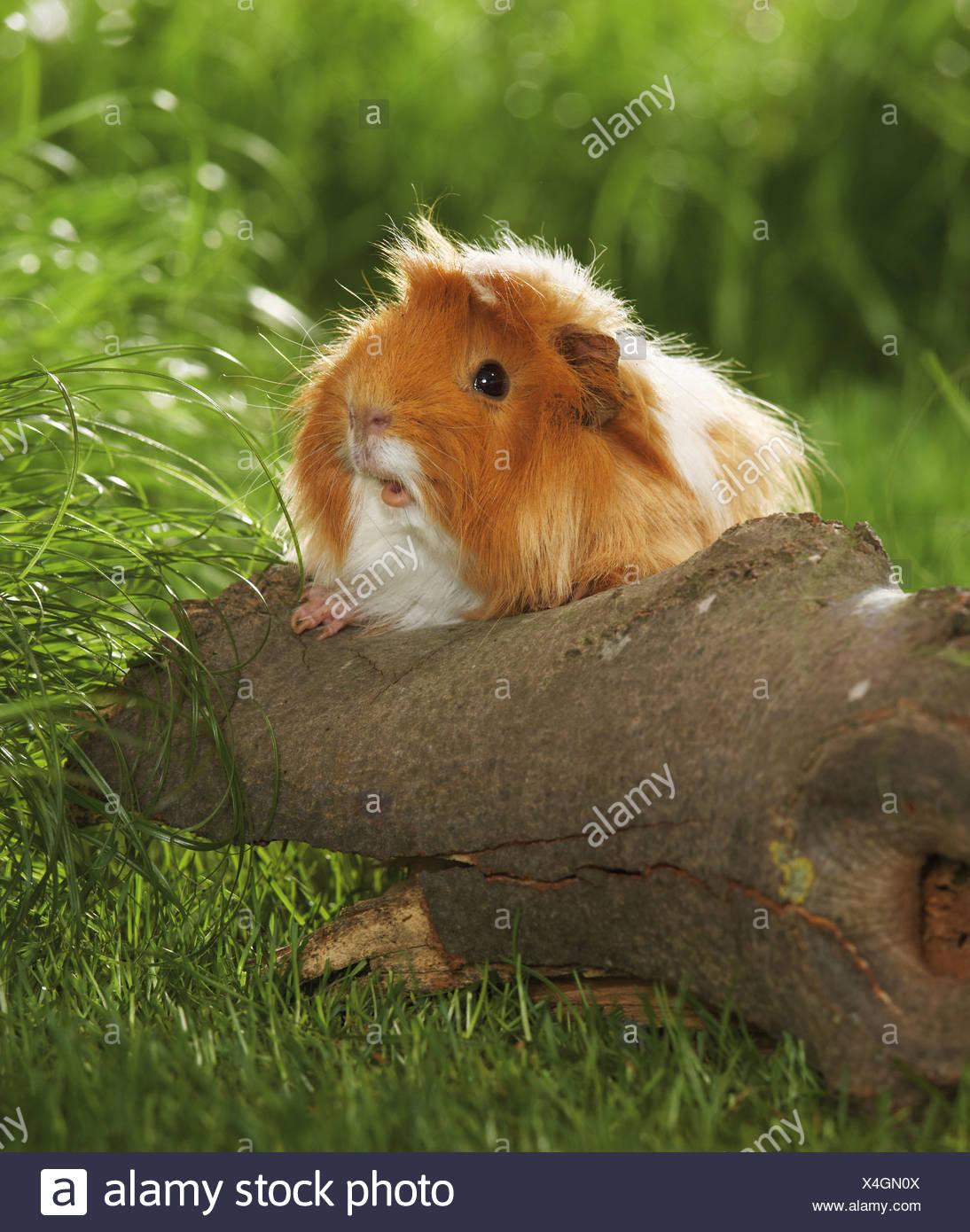 Sheltie guinea pigs - photo#31