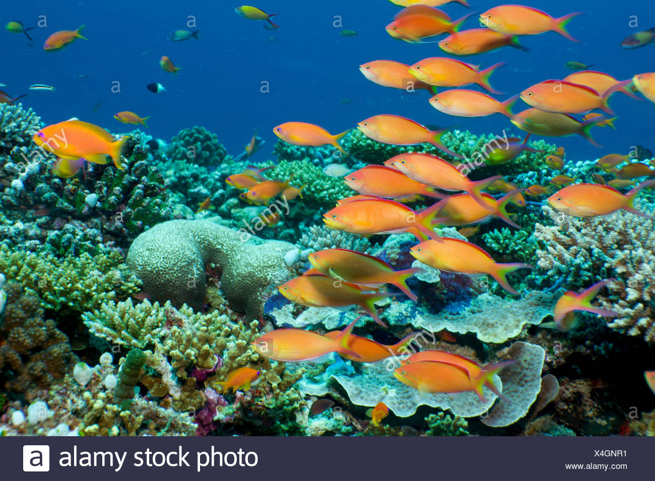 Schooling anthias, Maldives - Stock Image