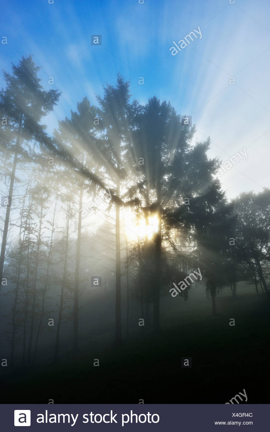 Sun shining through tree, Holzfeld, Boppard, Rhein-Hunsrueck-District, Rhineland-Palatinate, Germany - Stock Image