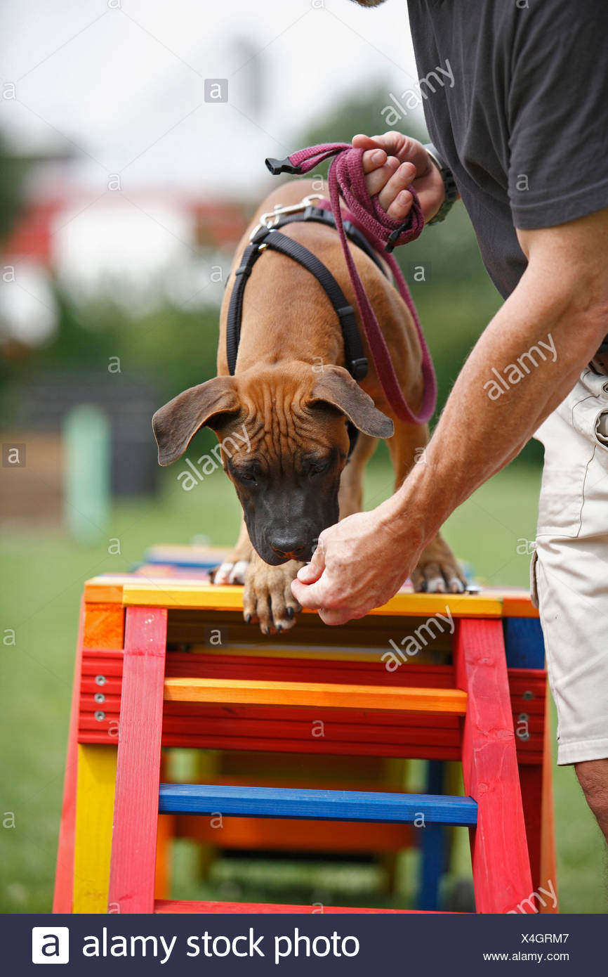 Staffordshire Bull Terrier (Canis lupus f. familiaris), puppie is attracted to walk over a barrier in a dog school, Germany - Stock Image