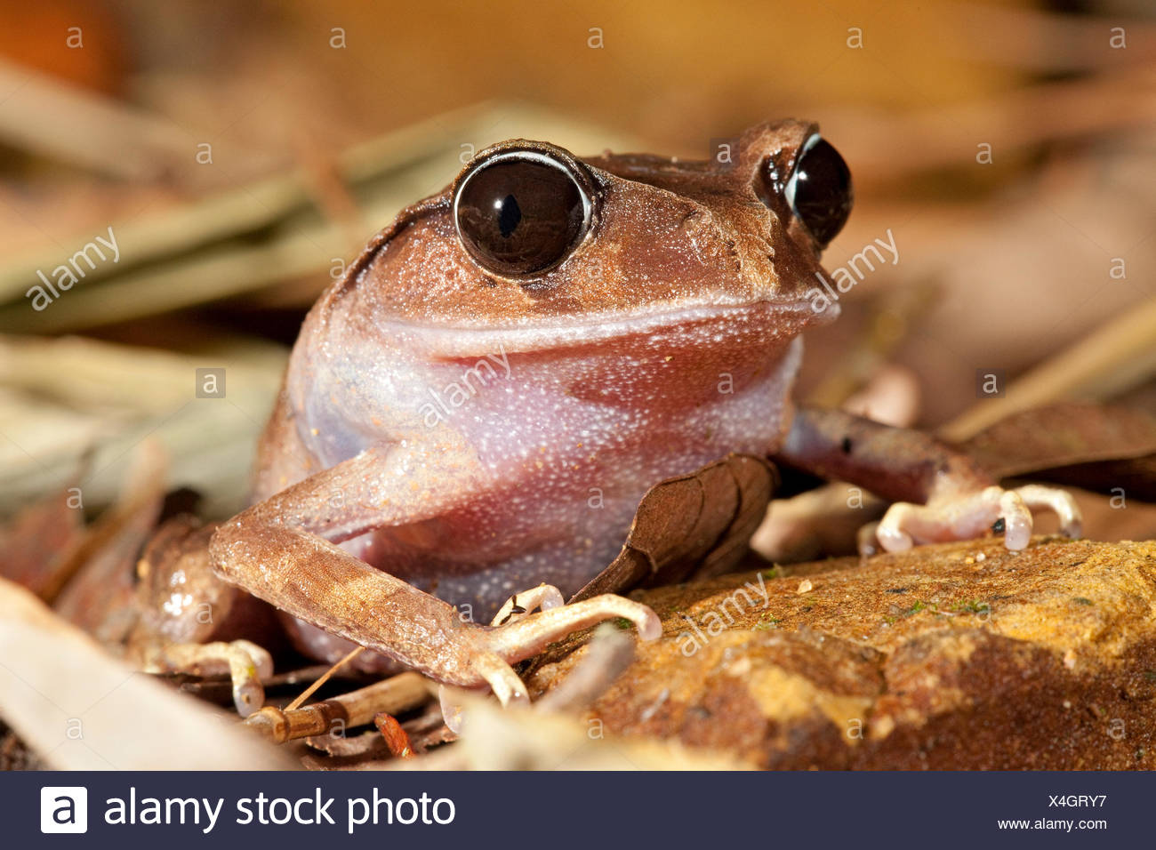 photo of a montane litter frog - Stock Image