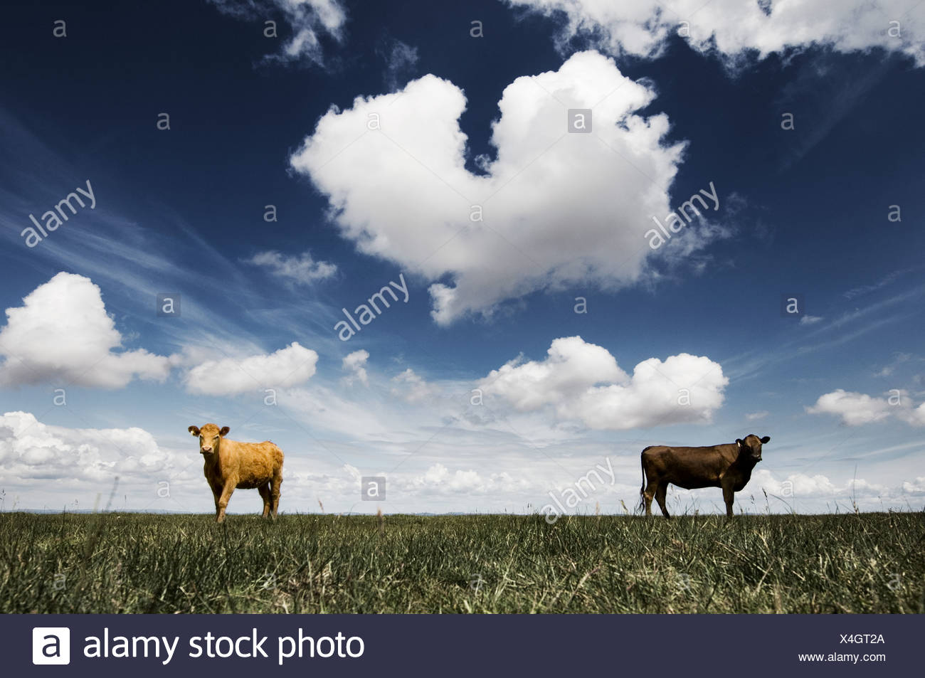 Two cows in field - Stock Image