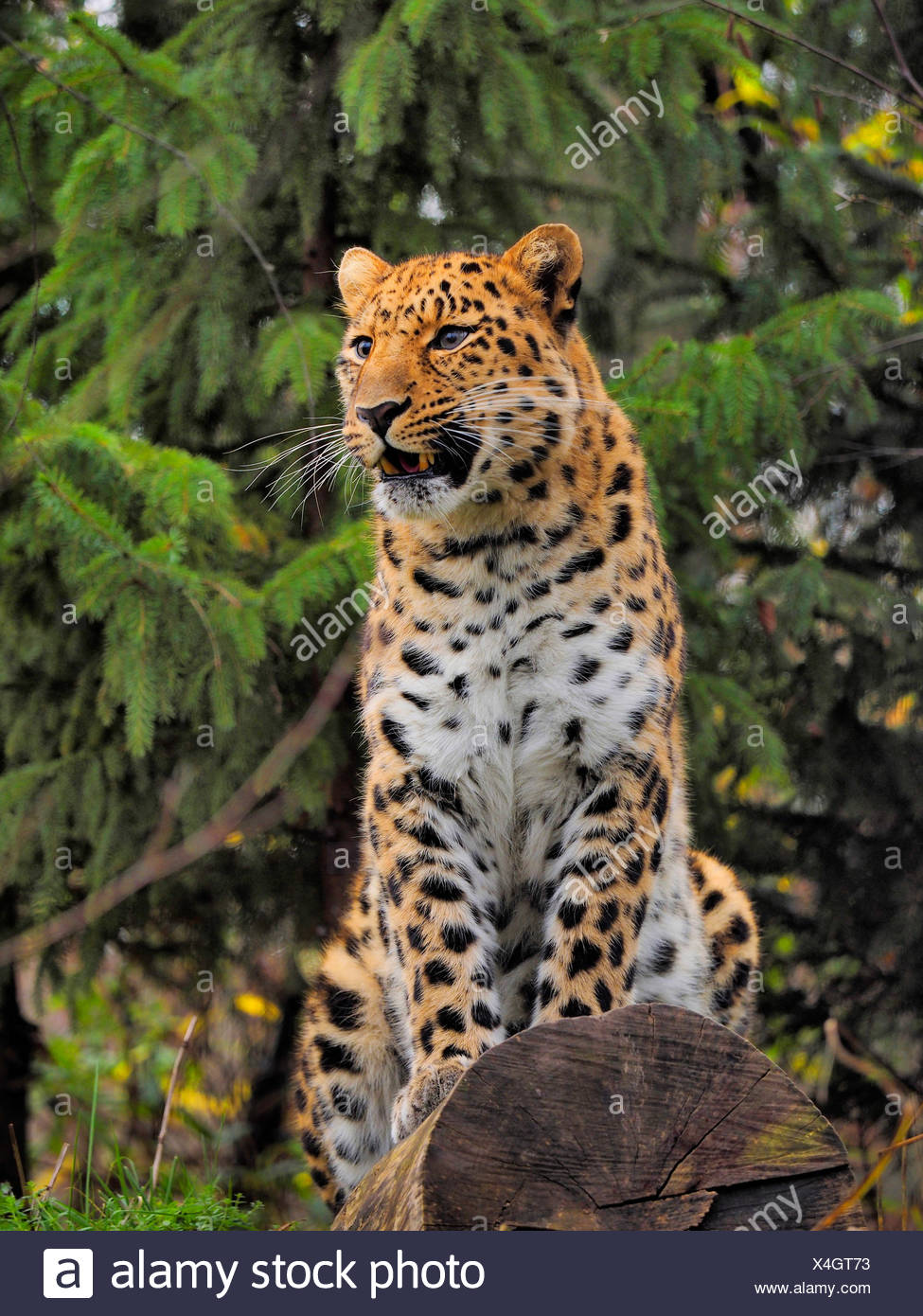 Amur leopard (Panthera pardus orientalis), sitting on a tree trunk - Stock Image