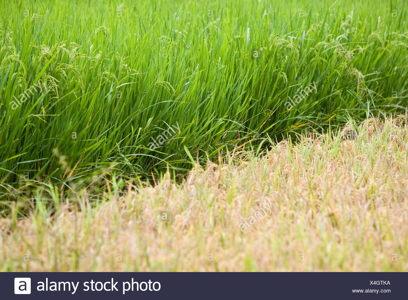 Two rice fields with different types of rice and at varying stages of ripeness, Lombok Island, Lesser Sunda Islands, Indonesia, Stock Photo